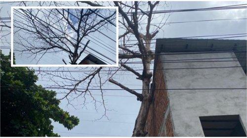 [Moradores de pernambués solicitam poda de árvore que ameaça danificar um imóvel ]