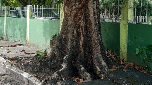 [Árvore de grande porte ameaça cair no Stiep e preocupa moradores]